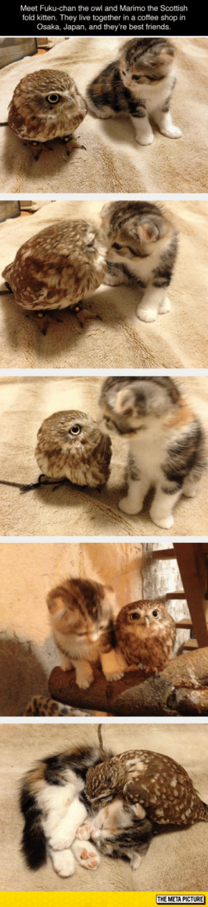 laughoutloud-club:  Buddies For Life: Meet Fuku-chan the owl and Marimo the Scottish  fold kitten. They live together in a coffee shop in  Osaka, Japan, and they're best friends  THE META PICTURE laughoutloud-club:  Buddies For Life