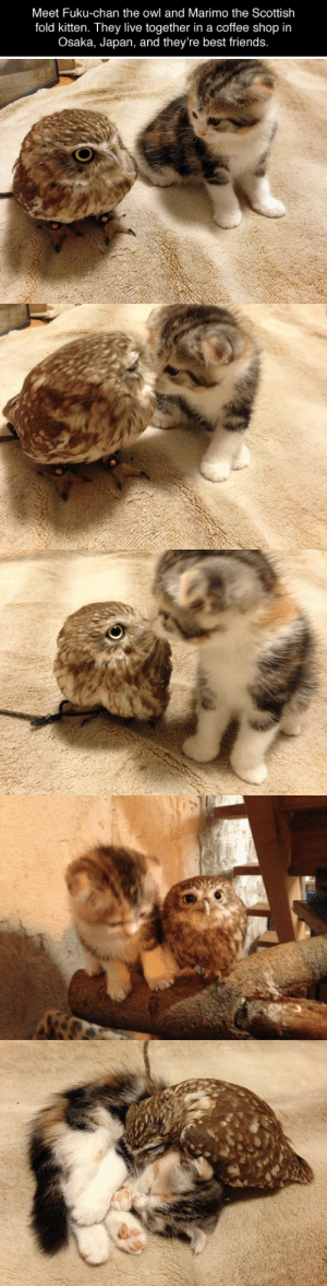 Well this is healing: Meet Fuku-chan the owl and Marimo the Scottish  fold kitten. They live together in a coffee shop in  Osaka, Japan, and they're best friends. Well this is healing