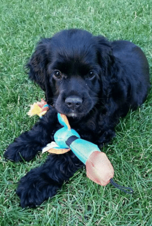 Moms, Kids, and Little Brother: Meet Jigs.... My mom's new cocker spaniel. And officially my 'little brother' since I'm pretty sure my mother loves him more than her real kids. 😅
