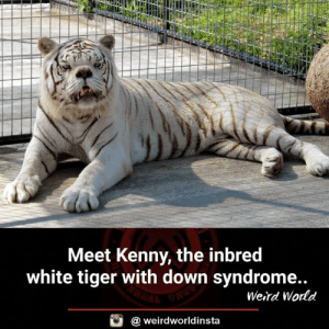 Edit : Apparently his appearance is the result of cruel inbreeding not due to DNS.: Meet Kenny, the inbred  white tiger with down syndrome..  Weird Wodd  @ weirdworldinsta Edit : Apparently his appearance is the result of cruel inbreeding not due to DNS.