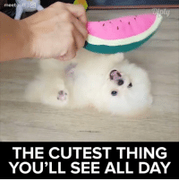Memes, 🤖, and Fluffy: meet  l (O)  THE CUTEST THING  YOU'LL SEE ALL DAY It's so fluffy! 🐶 More, https://www.instagram.com/meetpuff/ #diplyvideo
