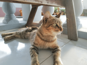 Meet Miguel. He loves to go to the kitchen and ask for wet food. He also hits your head as a way for him to show affection :D: Meet Miguel. He loves to go to the kitchen and ask for wet food. He also hits your head as a way for him to show affection :D