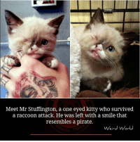Memes, Pirates, and Raccoon: Meet Mr Stuffington, a one eyed kitty who survived  a raccoon attack. He was left with a smile that  resembles a pirate.  Weird World