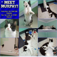 """Being Alone, Anaconda, and Beautiful: MEET  MURPHY!  AVAILABLE FOR ADOPTION  THROUGH  FUR THE LOVE OF PAWS  RESCUE! """"MURPHY!"""" Available for Adoption through Fur the Love of PAWS Rescue!  HERE'S THE SCOOP! Tuxedo Murphy (formerly Fluffy) was surrendered to the North Platte Animal Shelter by his owners because they had too many cats. To say that Murphy was in mental turmoil, would be putting it lightly. The day I met Murphy he was in a tight ball in the small litter box cubby, behind his litter box. His head was so low, it was actually under the box itself. When I opened to door to try to meet him and get his picture, he let out a distressed yowl - followed by several more. Murphy was terrified, confused and alone - three things that cause cats (or any animal for that matter) to act out of character. The next day when I went to the shelter, I noticed Murphy was no longer in the adoption room. I didn't even have to ask. I knew Murphy had acted on his fear and that he was in quarantine for nipping someone. I asked the staff what happened and sure enough - Murphy nipped an inmate from the local jail who was cleaning his cage that morning. My heart sank. He would spend 10 days in quarantine before we could help him. I kept my eye on him, and the poor guy never loosened up. When I saw him, he was always in distress, eyes full of confusion and ears flat with fear. We knew Murphy would be a great candidate for the FURcility because he wasn't mean or aggressive, the shelter just wasn't the place for this boy. Some cats handle it ok, some do not. Murphy did not. Murphy did great at his post quarantine check up at the vet. He was super nice to them and loved having some attention. They were able to neuter him that morning and when I went to check on him at the vet that afternoon, I met a cat completely the opposite of the one I'd been watching. Murphy was purring, rolling around and kneading the air. I knew he was going to be just fine.  FAMILY GOALS! Murphy is a FUN guy. A HOO"""