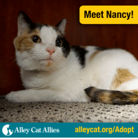 Memes, Ally, and The Holiday: Meet Nancy!  Alley Cat Allies  alleycat.org/Adopt Meet the lovely Nancy! This super sweet and affectionate three-year-old calico is looking for a fur-ever home to call her own. Like all of our adoptable cats, Nancy is spayed and will be microchipped prior to adoption.  Will you make Nancy part of your family in time for the holidays? Learn how to adopt her today at www.alleycat.org/adopt.