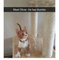 Memes, Evolution, and 🤖: Meet Oliver. He has thumbs Evolution took a leap with this kitty