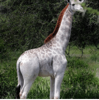 "Meet Omo, a one-of-a-kind giraffe who lives at the Tarangire National Park in Tanzania. You might think that she's albino, but she's actually leucistic, meaning that her body has reduced amounts of many types of pigment (not just melanin), which simply makes her paler than other giraffes. Wild Nature Institute founder Derek Lee says that Omo is ""the only pale giraffe we are currently aware of,"" and that her unique coloring might make her an easy target for poachers. We here at @science hope that their anti-poaching measures keep Omo safe so that she can have calves of her own someday and possibly pass this unique genetic mutation along. Fun fact: Omo was named after a brand of laundry detergent. Pretty clever, huh? Photo cred: Derek Lee - Caters News: Meet Omo, a one-of-a-kind giraffe who lives at the Tarangire National Park in Tanzania. You might think that she's albino, but she's actually leucistic, meaning that her body has reduced amounts of many types of pigment (not just melanin), which simply makes her paler than other giraffes. Wild Nature Institute founder Derek Lee says that Omo is ""the only pale giraffe we are currently aware of,"" and that her unique coloring might make her an easy target for poachers. We here at @science hope that their anti-poaching measures keep Omo safe so that she can have calves of her own someday and possibly pass this unique genetic mutation along. Fun fact: Omo was named after a brand of laundry detergent. Pretty clever, huh? Photo cred: Derek Lee - Caters News"