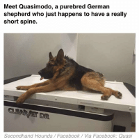 Crying, Cute, and Facebook: Meet Quasimodo, a purebred German  shepherd who just happens to have a really  short spine.  DR  Secondhand Hounds Facebook Via Facebook: Quasi he is so cute i'm crying 😢