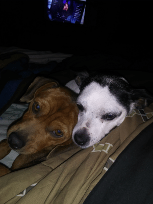 Meet Rick (left) and Lil Bit(right). Ive had surgery and am on bed rest and they've not left my side. Best pups I've ever had. Love my furry nurses!: Meet Rick (left) and Lil Bit(right). Ive had surgery and am on bed rest and they've not left my side. Best pups I've ever had. Love my furry nurses!