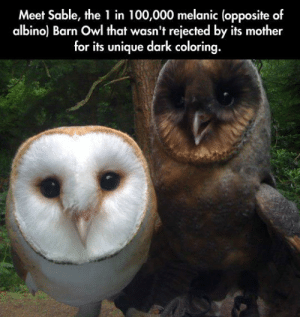 lolzandtrollz:  Seems Like A Nice Genetic Advantage: Meet Sable, the 1 in 100,000 melanic (opposite of  albino) Barn Owl that wasn't rejected by its mother  for its unique dark coloring. lolzandtrollz:  Seems Like A Nice Genetic Advantage