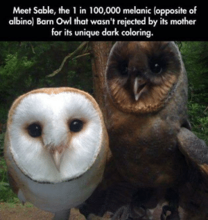 Dark, Mother, and Owl: Meet Sable, the 1 in 100,000 melanic (opposite of  albino) Barn Owl that wasn't rejected by its mother  for its unique dark coloring. You have the toasted marshmallow, and the slightly burnt marshmallow.