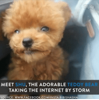 Shu, the Toy Poodle that is winning the hearts of millions! <3: MEET SHU  THE ADORABLE  TEDDY BEAR  TAKING THE INTERNET BY STORM  SOURCE: WWW. FACEBOOK.COM/INSTA. BIBISHASHA Shu, the Toy Poodle that is winning the hearts of millions! <3