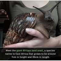 What a weird dog lol: Meet the giant African land snail, a species  native to East Africa that grows to be around  7cm in height and 20cm in length What a weird dog lol