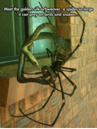 Spider, Tumblr, and Birds: Meet the golden silk orbweaver, a spider so large  if can prey on birds and snakes... epicjohndoe:  Time To Abandon The Planet