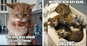 Cats, Memes, and LOLcats: MEET THE NEW BOY BAND..  The dogwas about  to steal them  INSYNG Every week we collect the highest voted cat memes that our users created for ICanHas Cheezburger's LOLCats.#cats #funnycats # catmemes # funnycatmemes #animalmemes #lolcats