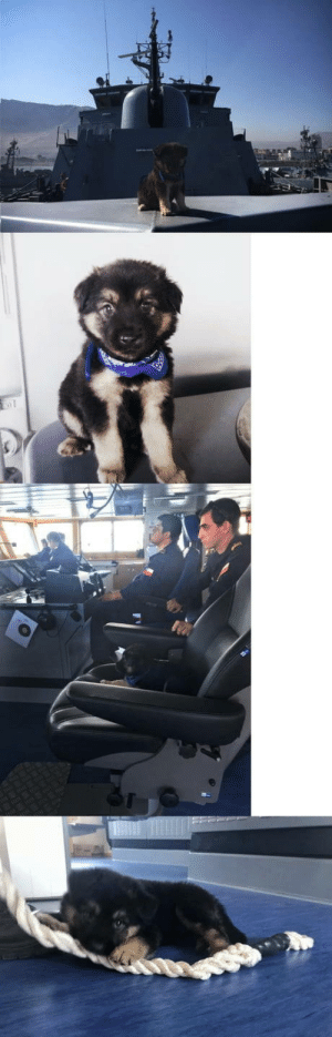 Meet Thor, the new chileans navy dog: Meet Thor, the new chileans navy dog