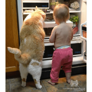 """catsofinstagram:  From @cadabe: """"This is our 7 year old cat Karl and our 18 month old daughter. It seems as though they have decided to work as a team to get at the goods in the fridge!"""" #catsofinstagram [catsofinstagram.com] [source: http://ift.tt/1xvgFue ] : Meets  Oneper  Crsp  CATSOFINSTAGRAM.COM  ICATSOFINSTAGRAM catsofinstagram:  From @cadabe: """"This is our 7 year old cat Karl and our 18 month old daughter. It seems as though they have decided to work as a team to get at the goods in the fridge!"""" #catsofinstagram [catsofinstagram.com] [source: http://ift.tt/1xvgFue ]"""