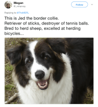 These dogs might be failing at what they were bred for, but they're still cute AF. #DogMemes #Cute #Derp #Fail: Megan  @_mharvey  Follow  Replying to @TheMERL  This is Jed the border collie  Retriever of sticks, destroyer of tennis balls.  Bred to herd sheep, excelled at herding  bicycles.. These dogs might be failing at what they were bred for, but they're still cute AF. #DogMemes #Cute #Derp #Fail