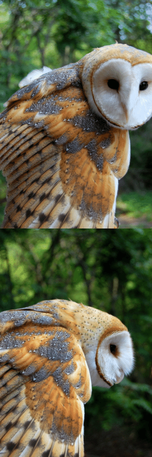 "megarah-moon:""Barn Owl"" by  Insanenigma  : megarah-moon:""Barn Owl"" by  Insanenigma"