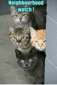 These cats peering around the corner of a wall make you think of neighbours and the twitching of net curtains.: Meighbourhood  watch! These cats peering around the corner of a wall make you think of neighbours and the twitching of net curtains.