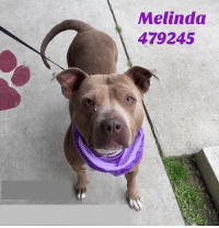 Dogs, Food, and Memes: Melindoa  479245 Email Placement@sanantoniopetsalive.org if you are interested in Adopting, Fostering, or Rescuing!  Our shelter is open from 11AM-7PM Mon -Fri, 11AM-5PM Sat and Sun.  Urgent Pets are at Animal Care Services/151 Campus. SAPA! is Only in Bldg 1 GO TO SAPA BLDG 1 & bring the Pet's ID! Address: 4710 Hwy. 151 San Antonio, Texas 78227 (Next Door to the San Antonio Food Bank on 151 Access Road)  **All Safe Dogs can be found in our Safe Album!** ---------------------------------------------------------------------------------------------------------- **SHORT TERM FOSTERS ARE NEEDED TO SAVE LIVES- email placement@sanantoniopetsalive.org if you are interested in being a temporary foster!!**