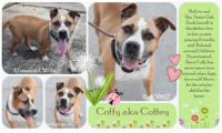 "Cats, Children, and Click: Mellow and  Shy Senior Girl.  Finds herself in  the shelter due  to her owners  passing, Friendly  and Relaxed  around Children.  Housetrained.  Since Coffy has  never spent time  around other dogs,  she would like to  be the only fur  child in the  home.  12 jears old.56 bs  30827  Coffy aka Coffey  @ anhattan A  CC ****TO BE KILLED 7/21/18****  OWNER PASSED AWAY :( Poor Coffy is already 12 years old and should definitely be in a warm, cozy home, with people that love her and a nice, quiet place to lay her head. Instead she is in a loud, noisy city shelter after a life with her owner, who sadly, recently passed away :( Coffy was surrendered by a family member - how sad is that - and her world has been turned upside down. Coffee is a little shy at first, but a friendly, waggy and mellow girl once warmed up. In her family she has spent time around children and was always friendly and relaxed around them. Since Coffy has never spent time with other dogs, she is not quite sure what to make of them and did not feel comfortable when introduced to other dogs in the shelter. She would want to be the only fur child in her new home.  VIDEOS: Coffy the spunky senior  https://youtu.be/9J8BQd5dohM Gentle older gal coffy <3 https://youtu.be/6KI8_PwzYH4  Coffy aka Coffey ID# 30827 Brooklyn ACC  12 yrs old, 56 lbs BROWN / WHITE SPAYED FEMALE Large Mixed Breed Cross  Surrendered by the owners family  Intake Date: 06-10-2018  SHELTER ASSESSMENT: EXPERIENCED HIME / SINGLE PET HOME  OWNER PROFILE  Basic Information:  Coffy is a 12 year old, medium mixed breed female who was spayed prior to coming into the shelter. She was surrendered due to the owner passing away. Coffy has not seen a vet recently.  Previously lived with: 1 adult  How is this dog around strangers?  Coffy has not been around strangers so her behavior is unknown. She is friendly around the family members she was exposed to.  How is this dog around children?  Coffy has spent time around young family members who she is used to and was friendly and relaxed around them.  How is this dog around other dogs?  Coffy has not spent time around other dogs.  How is this dog around cats?  Coffy has not spent time around cats.  Resource guarding:  Coffy is not bothered by her owner touching her food and toys but it is unknown how she would react around a stranger.  Bite history: Coffy does not have a bite history.  Housetrained: Yes  Energy level/descriptors: Low  Other Notes:  Coffy's owner has bathed her outside and is not bothered. She has not had her nails trimmed. Coffy will alert bark when someone approaches the house or yard.  Has this dog ever had any medical issues? Yes  Medical Notes :  Coffy has possible arthritis in her rear hips.  For a New Family to Know :  Coffy is described as being mellow and shy. She has been an indoor dog, likes to follow her owner around and eats both wet and dry food. She sleeps on her bed and is house trained to go outside on any surface. Coffy knows the command sit and down and walks on leash for exercise or runs around the backyard.  BEHAVIOR NOTES  SAFER SCORES Date of assessment: 12-Jun-2018  Look: 1. Dog's eyes are averted, with tail wagging and ears back. Allows head to be held loosely in Assessor's cupped hands.  Sensitivity: 1. Dog stands still and accepts the touch, eyes are averted, and tail is in neutral position with a relaxed body posture. Dog's mouth is likely closed for at least a portion of the assessment item.  Tag: 1. Dog follows at the end of the leash, body soft.  Flank squeeze 1: 1. Dog does not respond at all.  Flank squeeze 2: 1. Dog does not respond at all.  Toy: 1. No interest.  Summary:  Coffy was relaxed and social during her handling assessment. She engaged with the assessor with a soft posture, but showed interest in the toy item.  PLAY GROUP :  Coffy's previous owner reported that she has not spent time with other dogs.  6/12: When off leash at the Care Center, an attempt to introduce Coffy to a novel male dog was made. During the gate greet, Coffy immediately snapped and lunged when he approached her. Due to this behavior, a full off-leash introduction was not conducted.  6/14: Today, another gate greet was attempted with Coffy. She initially ignored the novel male dog before air snapping at him through the gate. Her warnings escalated, and she lunged at the gate when he moved away, so her session was ended. After a brief break, Cuffy returned for a session of counter conditioning. Coffy was given treats when she looked at the other dog and did not show any signs of reaction. She maintained neutral body as the helper dog was systematically moved closer to the gate. She was food motivated, constantly taking treats, and was able to stay focused on the handler instead of the other dog. She did show signs a stress when he was near; taking treats with a hard mouth.  Date of intake: 10-Jun-2018 Summary: Barking, growling  Date of initial: 12-Jun-2018 Summary:  BARH, some growling during exam, placed soft muzzle as precaution  ENERGY LEVEL:  Her previous owner describes Coffy as a friendly, relaxed dog. She is a young, social dog, who will need daily mental and physical activity to keep her engaged and exercised.  BEHAVIOR DETERMINATION: EXPERIENCE (suitable for an adopter with some previous dog experience, especially with the behaviors outlined below)  Recommendations:  Single-pet home, Recommend no dog parks  Recommendations comments:  Single-pet home/Recommend no dog parks:  Due to the concerning behaviors that Coffy has shown during playgroup (see GROUPBEHAVIOR SUMMARY), we feel that Coffy should not visit dog parks and be the only resident dog. The Behavior Department recommends that she be socialized in a more controlled setting until her behavior towards other dogs can be further addressed. Reward-based, force-free training can be utilized to help Coffy associate dogs with things she enjoys like toys or treats.  MEDICAL EXAM NOTES  DVM Intake Exam : Estimated age: Reported 12 years Microchip noted on Intake? Negative scan History : Owner surrender Subjective: BARH, some growling during exam, placed soft muzzle as precaution Evidence of Cruelty seen – none Evidence of Trauma seen – none Objective : P = wnl R = wnl BCS = 5/9 with HL muscle atrophy EENT: Eyes clear, ears clean, no nasal or ocular discharge noted Oral Exam: not performed PLN: No enlargements noted H/L: NSR, NMA, CRT < 2, Lungs clear, eupnic ABD: Tense, not overtly painful, no masses palpated U/G: Spayed female MSI: Ambulatory x 4, moderate HL muscle atrophy, skin free of parasites, healthy hair coat, pink hairless skin nodules/skin tags at RF dorsal paw, three haired dermal masses along dorsum – all approx 1cm diameter, overgrown nails CNS: Mentation appropriate – no signs of neurologic abnormalities Rectal: Externally normal Assessment: 1. Pink nodules at RF paw 2. Dermal nodules along dorsum 3. Muscle atrophy bilateral pelvic limbs – ro geriatric vs DM vs OA vs other Prognosis: Fair to good Plan: 1. Recommend FNA of dermal nodules 2. Continue to monitor while at MACC – specifically gait/HL mobility  * TO FOSTER OR ADOPT *   If you would like to adopt a dog on our ""To Be Killed"" list, and you CAN get to the shelter in person to complete the adoption process *within 48 hours of reserve*, you can reserve the dog online until noon on the day they are scheduled to die. We have provided the Brooklyn, Staten Island and Manhattan information below. Adoption hours at these facilities is Noon – 8:00 p.m. (6:30 on weekends)  HOW TO RESERVE A ""TO BE KILLED"" DOG ONLINE (only for those who can get to the shelter IN PERSON to complete the adoption process, and only for the dogs on the list NOT marked New Hope Rescue Only). Follow our Step by Step directions below!   *PLEASE NOTE – YOU MUST USE A PC OR TABLET – PHONE RESERVES WILL NOT WORK! **   STEP 1: CLICK ON THIS RESERVE LINK: https://newhope.shelterbuddy.com/Animal/List  Step 2: Go to the red menu button on the top right corner, click register and fill in your info.  Step 3: Go to your email and verify account  Step 4: Go back to the website, click the menu button and view available dogs  Step 5: Scroll to the animal you are interested and click reserve  STEP 6 ( MOST IMPORTANT STEP ): GO TO THE MENU AGAIN AND VIEW YOUR CART. THE ANIMAL SHOULD NOW BE IN YOUR CART! Step 7: Fill in your credit card info and complete transaction Animal Care Centers of NYC (ACC)nycacc.org  HOW TO FOSTER OR ADOPT IF YOU *CANNOT* GET TO THE SHELTER IN PERSON, OR IF THE DOG IS NEW HOPE RESCUE ONLY!   You must live within 3 – 4 hours of NY, NJ, PA, CT, RI, DE, MD, MA, NH, VT, ME or Norther VA.   Please PM our page for assistance. You will need to fill out applications with a New Hope Rescue Partner to foster or adopt a dog on the To Be Killed list, including those labelled Rescue Only. Hurry please, time is short, and the Rescues need time to process the applications."
