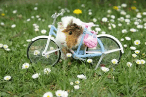 Animals, Cute, and Facts: meme-mage:    16 Interesting Facts About Guinea Pigs     When we hear the name of Guinea pigs, the first thing that comes to our mind is the cute, adorable animals. These are puffy, funny creatures that are truly a treat to have as a pet. They will keep you interested and would be your perfect friend in this unsettling world.The scientific name of Guinea pig is Cavia Porcellus and are usually called cavy. Know a little more about these cuddly and clever animals in the following interesting facts about Guinea pigs.   http://ohfact.com/interesting-facts-about-guinea-pigs/