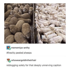 Fresh from the farm: mememiya-anthy  #freshly peeled sheeps  whoweargoldintheirhair  reblogging solely for that deeply unnerving caption Fresh from the farm