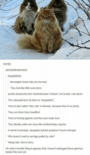 """Cats, Run, and Best: memi  adorabelledearheart  thepliablefoe  Norwegian forest cats are the best.  They look like little snow lions.  MORE REASONS WHY NORWEGIAN FOREST CATS ARE:THE BEST:  The colloquial term for them is skogkatten""""  They're also called """"fairy cats"""" in Norway, because they're so pretty.  They run down trees headfirst.  They're fricking gigantic and they purr really loud.  They literally walk over snow like motherloving Legolas  In Norse mythology, skogkatts pull the goddess Freya's carriage.  Who doesn't want a carriage pulled by cats?  Viking cats. End of story.  Oh what a terrible thing it appears that I haven't reblogged these glorious  beasts this year yet Norwegian forest cats are hectic"""
