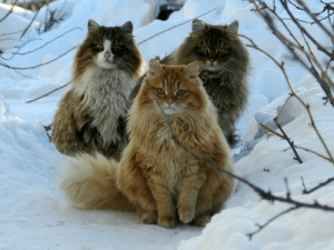 """memily:  adorabelledearheart:  thepliablefoe:   Norwegian forest cats are the best. They look like little snow lions.      MORE REASONS WHY NORWEGIAN FOREST CATS ARE THE BEST: The colloquial term for them is """"skogkatten"""". They're also called """"fairy cats"""" in Norway, because they're so pretty. They run down trees headfirst. They're fricking gigantic and they purr really loud. They literally walk over snow like motherloving Legolas. In Norse mythology, skogkatts pull the goddess Freya's carriage. Who doesn't want a carriage pulled by cats? Viking cats. End of story.   Oh what a terrible thing it appears that I haven't reblogged these glorious beasts this year yet : memily:  adorabelledearheart:  thepliablefoe:   Norwegian forest cats are the best. They look like little snow lions.      MORE REASONS WHY NORWEGIAN FOREST CATS ARE THE BEST: The colloquial term for them is """"skogkatten"""". They're also called """"fairy cats"""" in Norway, because they're so pretty. They run down trees headfirst. They're fricking gigantic and they purr really loud. They literally walk over snow like motherloving Legolas. In Norse mythology, skogkatts pull the goddess Freya's carriage. Who doesn't want a carriage pulled by cats? Viking cats. End of story.   Oh what a terrible thing it appears that I haven't reblogged these glorious beasts this year yet"""
