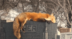 Beautiful, Illuminati, and Tumblr: MEMORYOF  NGELINE BUCK batty-von-v: illuminati-hottie:  yourhippielove:   Fox sleeping in a graveyard.  Makes me wonder about reincarnation  this is seriously so beautiful   This is the most amazing moment to catch on camera!