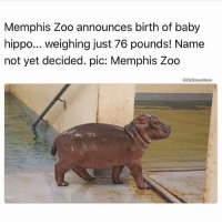 Actually her name is Fiona @drsmashlove I have looked into this 😩😍 rp @drsmashlove ❤ edit: everyone corrected me that Fiona is at the Cincinnati zoo, this QT still needs a name!: Memphis Zoo announces birth of baby  hippo... weighing just 76 pounds! Name  not yet decided. pic: Memphis Zoo  DrSmashlove Actually her name is Fiona @drsmashlove I have looked into this 😩😍 rp @drsmashlove ❤ edit: everyone corrected me that Fiona is at the Cincinnati zoo, this QT still needs a name!