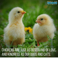 Animals, Cats, and Dogs: MERCY FOR  ANIMALS  CHICKENS ARE JUST AS DESERVING OF LOVE  AND KINDNESS AS OUR DOGS AND CATS Yes! 💕 govegan vegansofig mercyforanimals loveanimals kindness animallovers