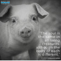 "💕 govegan vegansofig mercyforanimals animallover quotes kindness compassion loveanimals: MERCY FOR  ANIMALS  ""The soul is  the same in  all living  creatures,  although the  body of each  is different.  Hippocrates 💕 govegan vegansofig mercyforanimals animallover quotes kindness compassion loveanimals"