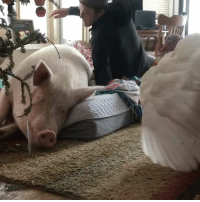 Christmas, Jealous, and Merry Christmas: Merry Christmas from Esther the pig and her jealous turkey sibling 😂  Credit: Esther the Wonder Pig
