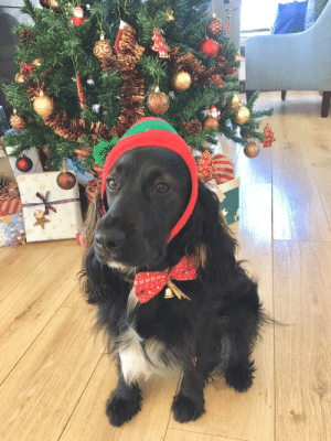 Merry Xmas from Princess Poppy (AKA Mary Poppins), Reddit, our eleven month old Cocker Spaniel & fur child! It's her first time here & her first Xmas & she's our blessing! 🥰: Merry Xmas from Princess Poppy (AKA Mary Poppins), Reddit, our eleven month old Cocker Spaniel & fur child! It's her first time here & her first Xmas & she's our blessing! 🥰