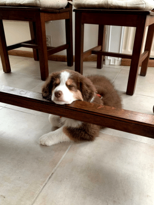 Met this cute little buddy recently. He's a Mini Australian Shepherd.: Met this cute little buddy recently. He's a Mini Australian Shepherd.