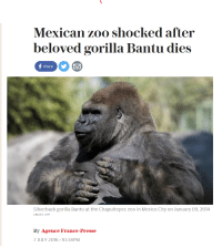 We are still weeping for Harambe, yet another soul has been taken. When will it end?: Mexican zoo shocked after  beloved gorilla Bantu dies  share  Silverback gorilla Bantu at the Chapultepec zoo in Mexico City on January O9, 2014  CREDIT: AFP  By Agence France-Presse  7 JULY 2016 10:34PM We are still weeping for Harambe, yet another soul has been taken. When will it end?