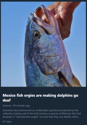 "that-damn-owl:I basically never check my Twitter's ""Moments"" tab, but the one time I decide to I'm greeted with this fucking incredible sight: Mexico  deaf  fish orgies are making dolphins go  Science. 34 minutes ago  Scientists have discovered an underwater spectacle produced by the  collective mating call of the Gulf corvina, a species of Mexican fish that  amasses in ""reproductive orgies"" so loud that they can deafen other...  67 Likes that-damn-owl:I basically never check my Twitter's ""Moments"" tab, but the one time I decide to I'm greeted with this fucking incredible sight"