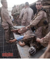 U.S. Marines from 1st Battalion, 5th Marines, Regimental Combat Team 8, carry an injured bomb-tracking dog to an awaiting helicopter at FOB Jackson. veteranscomefirst veterans_us Veterans Usveterans veteransUSA SupportVeterans Politics USA America Patriots Gratitude HonorVets thankvets supportourtroops semperfi USMC USCG USAF Navy Army military godblessourmilitary soldier holdthegovernmentaccountable RememberEveryoneDeployed Usflag StarsandStripes: MI M  E RANS  COME FIRST U.S. Marines from 1st Battalion, 5th Marines, Regimental Combat Team 8, carry an injured bomb-tracking dog to an awaiting helicopter at FOB Jackson. veteranscomefirst veterans_us Veterans Usveterans veteransUSA SupportVeterans Politics USA America Patriots Gratitude HonorVets thankvets supportourtroops semperfi USMC USCG USAF Navy Army military godblessourmilitary soldier holdthegovernmentaccountable RememberEveryoneDeployed Usflag StarsandStripes