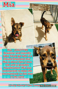 Mia  MiaA35277789  Beautiful and friendly  baby-faced gal who is a  Mia is about 2yrs 2 mos.  old, and is possibly  housebroken. Mia was  nonreactive to dogs she  encountered on her way  to the yard  Irving Animal Care CampusictconTAGE  bug PIC- Mia - URGENT HEARTWORM POSITIVE  Mia has test positive and need treatment. Mia is available for adoption or rescue at the Irving Animal Care Campus.