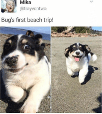 Cute, Memes, and Beach: Mika  atrayvontwo  Bug's first beach trip! Doggo so cute