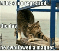 Well now he can be a chick magnet. cats meme memesdaily: Mike soon regretted  the day  he  swallowed a magnet. Well now he can be a chick magnet. cats meme memesdaily