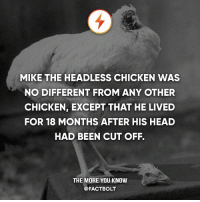 """Food, Head, and Memes: MIKE THE HEADLESS CHICKEN WAS  NO DIFFERENT FROM ANY OTHER  CHICKEN, EXCEPT THAT HE LIVED  FOR 18 MONTHS AFTER HIS HEAD  HAD BEEN CUT OFF.  THE MORE YOU KNOW  @FACTBOLT """"Mike was fed with liquid food and water directly into his oesophagus. Another vital bodily function they helped with was clearing mucus from his throat. They fed him with a dropper, and cleared his throat with a syringe."""" - BBC — Source: http:-www.bbc.com-news-magazine-34198390 — It's annoying how some people say a fact is false when they haven't checked the source link I provided or look it up themselves beforehand. Please do so."""