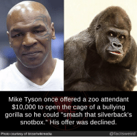 "Memes, Mike Tyson, and Smashing: Mike Tyson once offered a zoo attendant  $10,000 to open the cage of a bullying  gorilla so he could ""smash that silverback's  snotbox."" His offer was declined  Photo courtesy of birzer/wikimedia  @factsweird"