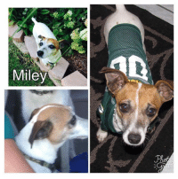 Chihuahua, Memes, and Miley Cyrus: Miley **MISSING IN LAPEER**  This is Miley, a Jack Russell Terrier/Chihuahua Mix, that went missing yesterday (9/12/17) and was last seen off of Gray Road between Davison and Oregon Roads.  If you have seen her or have any information please call 810-358-5653.  Please share to spread the word!
