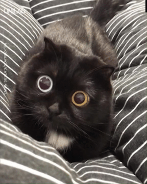 This black cat has huge eyes and he's the most adorable thing ever 😍😍: MILKYBLVC/CATERS NWS This black cat has huge eyes and he's the most adorable thing ever 😍😍