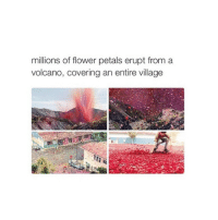 Amaz, Covers, and Flower: millions of flower petals erupt from a  volcano, covering an entire village check out @beautifullpllaces for more amazing photos like this 🎉✨💫 so happy i found their page 💌