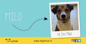 Soopa Treats have teamed up with Dogs Trust to help find homes for lost and abandoned dogs. Milo is a cheerful one year old male Collie cross who enjoys fun and company. He is an active dog who loves outdoor activities such as hiking, running and chasing a ball in the park. Milo can be a little shy initially, but after a few minutes he is reassured and will want to play - his favourite game is fetch!  Milo missed out on crucial socialisation when he was a puppy and is sometimes unsure of other dogs, but he is a very smart boy, who loves training and food, so helping him to relax around dogs should not take long at all! After a lovely walk he loves nothing more than a relaxing belly rub and gentle cuddles  If you have room in your heart and home for Milo then please contact Dogs Trust on 01 879 1000. They are based in Finglas, just off exit 5 on the M50. Map and directions can be found on their website www.dogstrust.ie. You can also find them on Facebook www.facebook.com/dogstrustirelandonline  or Twitter @DogsTrust_IE: MILO  Hi, Im Milol  DogsTrust  www.dogstrust.ie Soopa Treats have teamed up with Dogs Trust to help find homes for lost and abandoned dogs. Milo is a cheerful one year old male Collie cross who enjoys fun and company. He is an active dog who loves outdoor activities such as hiking, running and chasing a ball in the park. Milo can be a little shy initially, but after a few minutes he is reassured and will want to play - his favourite game is fetch!  Milo missed out on crucial socialisation when he was a puppy and is sometimes unsure of other dogs, but he is a very smart boy, who loves training and food, so helping him to relax around dogs should not take long at all! After a lovely walk he loves nothing more than a relaxing belly rub and gentle cuddles  If you have room in your heart and home for Milo then please contact Dogs Trust on 01 879 1000. They are based in Finglas, just off exit 5 on the M50. Map and directions can be found on their website ww