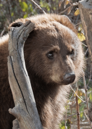 America, Beautiful, and Cars: mimcintosh loveforallbears: blackbearcj:   elevengrackles:  blackbearcj:  loveforallbears: http://bearwithus.org   #brown bear  Actually this is a black bear cub named Nutmeg. She just has brown fur. Black bears come in more different colors than any other mammal in North America, brown being most common after black.  Your ability to recognize bears and also individuals is amazing.    Oh gosh, as wish as I could take all of this compliment, I can only take the one on recognizing bears here, I recognized her as a black bear before I saw the source. It really isn't hard to tell the difference between brown bears and black bears though once you know the details to look for, and in fact it's a really important skill if you live or go to an area with both, they need to be treated differently.I'm very familiar with Bear With Us (who from what I've seen only rescue black bear cubs, this is where those pictures of all those cubs up the same tree come from) and went to check their Facebook page to see if they said anything about the picture and I saw they posted another picture of her along with her name.There are individual bears I can recognize (sometimes even better than some humans tbh) but I can't take credit for that here! Anyway here's that other picture of her.   She's a real cutie and since this photo is 3 years old, I hope by now she's a beautiful bear having beautiful cubs.. If her life wasn't cut short so some neanderthal could have her in their living room.   But BearWithUs is a really great charity that runs solely off donations. They have some bears that they rescued from Circuses and from being hit by cars that can't be released. Most every other bear they take in gets released to live happily in the wild.   I'm sorry, this was incorrectly tagged as a brown bear when originally posted. Thank you to @blackbearcj for the correction and additional information about Nutmeg and Bear With Us 🐻✨